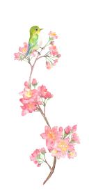 水彩で描いた桜とうぐいすのイラスト