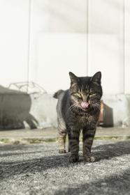 舌舐めずりする猫