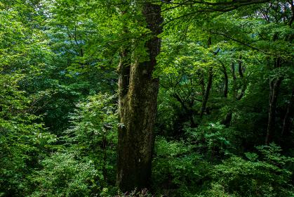 梅雨時の森と巨木