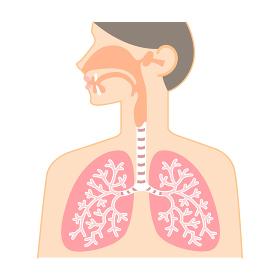 鼻・のど・肺の図表(健康な臓器)
