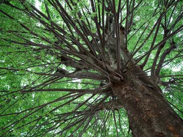 枝をたくさん広げたケヤキ