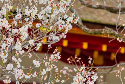 大宰府天満宮の飛梅とメジロ(福岡県)