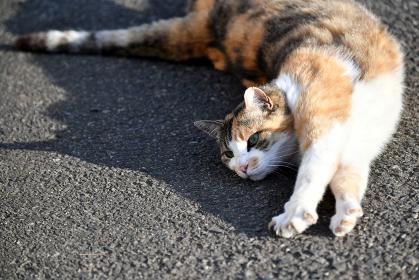 外でくつろぐ三毛猫