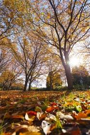 落葉と紅葉のケヤキ