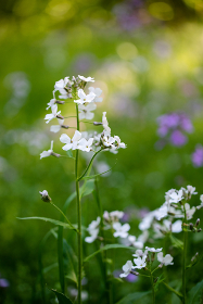 Close up of white wildflowers in a field.