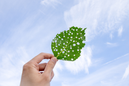 手に持った虫食いの葉っぱ(植物イメージ・環境問題・エコロジー)
