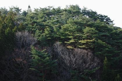 三陸碁石海岸の松林