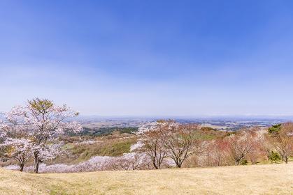 宮城県北部の加護坊山 桜満開