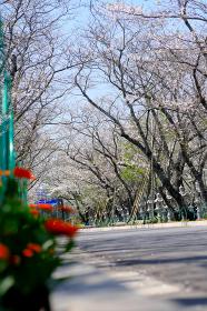 満開の桜を見上げる知覧平和公園の入り口