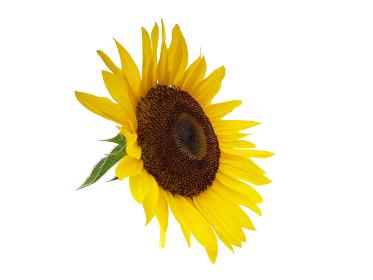 ヒマワリの花 切り抜き 3