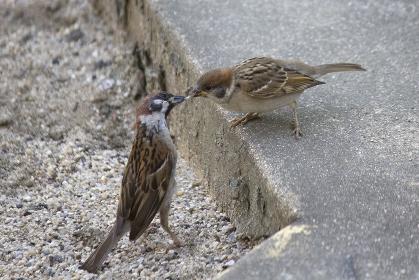 親スズメが子スズメに餌を与える