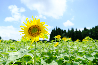 気持ちいい晴れの日の向日葵