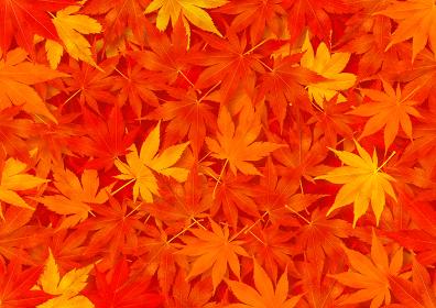 一面の紅葉柄の背景 赤 オレンジ