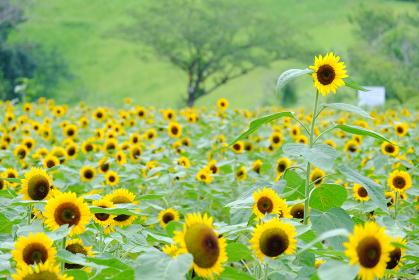 背丈の高い一本の向日葵
