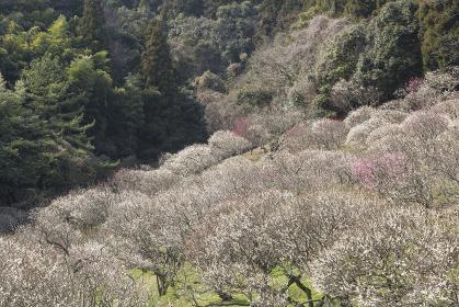 三岳梅林公園 福岡県北九州市
