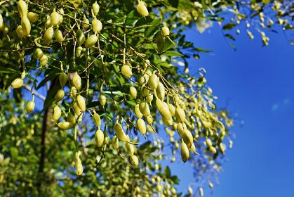 エンジュの木に生った豆のような実