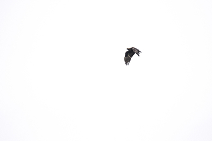 A distance photograph of a golden eagle flying