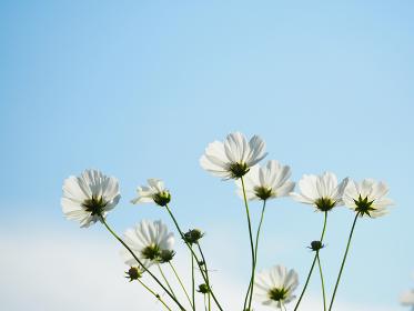光を浴びる白色のコスモス