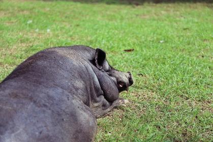芝生に寝そべる貫禄ある1匹の黒豚の横顔