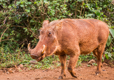 アフリカ ケニアのイボイノシシ warthog