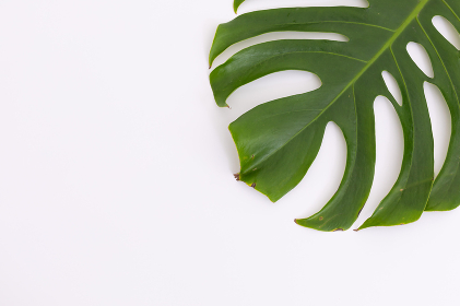 Green leaf lying on right side on white background. nature spring summer freshness plant copy space.