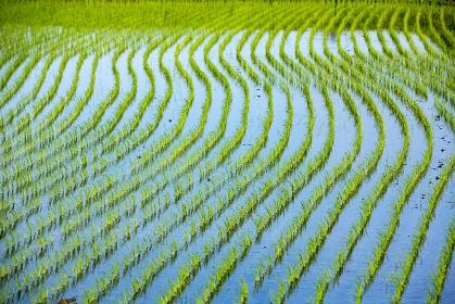 苗が育つ初瀬の水田