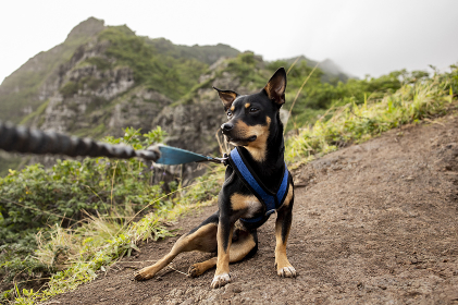 brown and black dog on leash sits in dirt on hillside