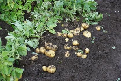 家庭菜園・ジャガイモの収穫
