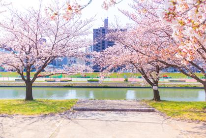 対岸のテニスコートと桜
