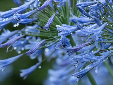 梅雨の雨に濡れるアガパンサスの花 6月