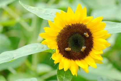 ヒマワリにとまる3匹のミツバチ