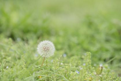 野原のタンポポの綿毛