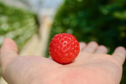 苺,いちご,手,イチゴ,strawberry,手,hand