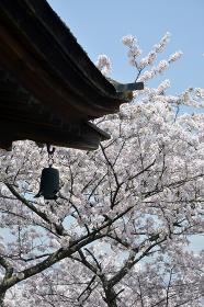 春の三井寺 観月舞台の桜 滋賀県大津市