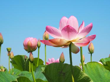 空に向けて咲くハスの花