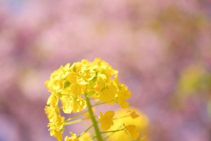 菜の花(桜のボケ背景)