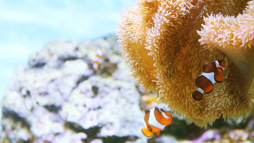 サンゴに隠れるカクレクマノミ