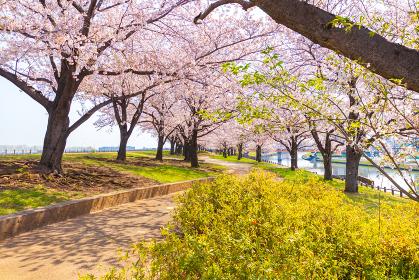 赤羽桜堤緑地 新緑と遊歩道