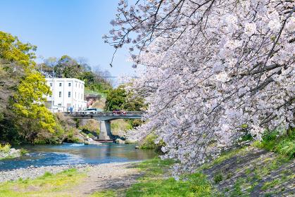 静岡県富士市龍巌淵の桜