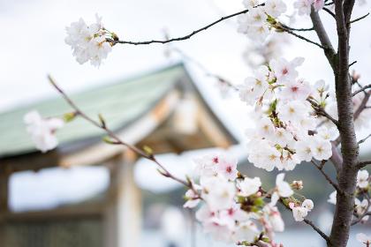 桜の花(背景建物)