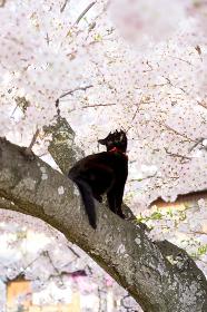 桜の木に登る黒猫