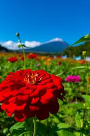 山梨県山中湖村にある花の都公園一面に広がる百日草(ジニア)と富士山