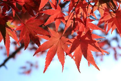 赤く色づいたカエデの木 6