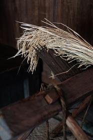 千歯扱きで稲を脱穀する様子