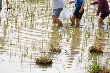田んぼで遊ぶ子供たち 田舎 田植え 体験学習