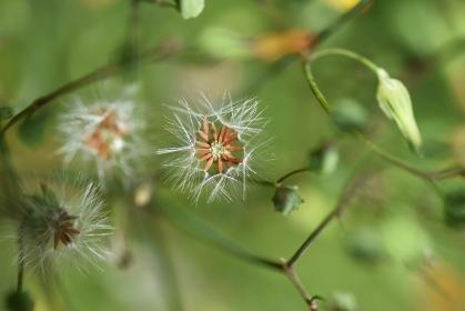オニタビラコの綿毛