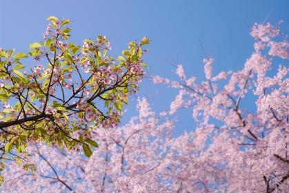 東京都・稲城市平尾のシダレザクラと葉桜の河津桜