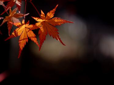 紅葉しているカエデ