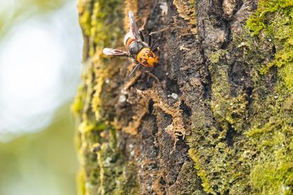 クヌギの木にとまるオオスズメバチ