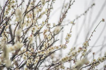 梅の木・梅の花